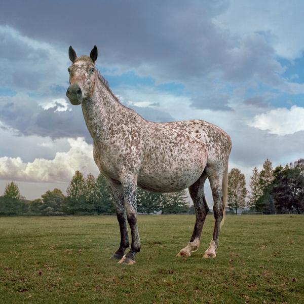 appaloosa_horse