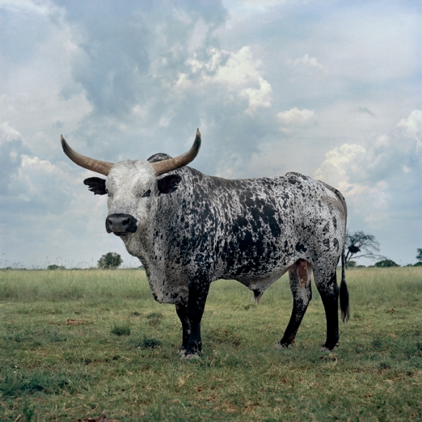 black_white_nguni_bull