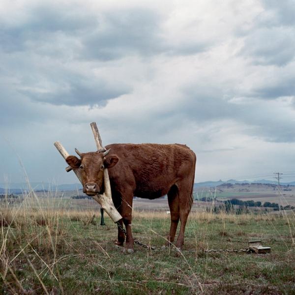 cow_branch_collar