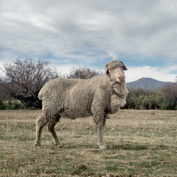 merino_sheep