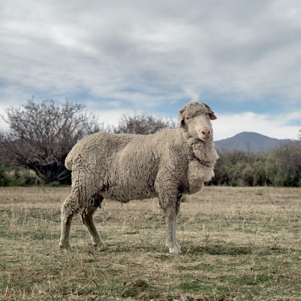 merino_sheep